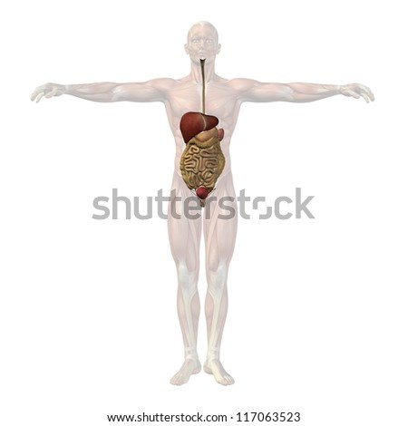 High resolution concept or conceptual anatomical human man 3D digestive system isolated on white background as metaphor to anatomy,medical,body,stomach,medicine, intestine,biology,internal or digest - stock photo
