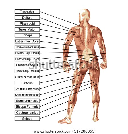 High resolution concept or conceptual 3D human anatomy and muscle isolated on white background as a metaphor to body,tendon,spine,fit,builder,strong,biological,skinless,shape,posture,health or medical - stock photo