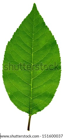 High resolution leaf texture - stock photo