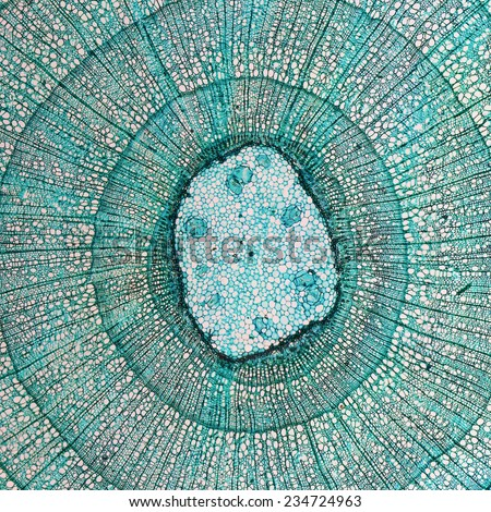 High resolution light photomicrograph of tilia stem cross section seen through a microscope - stock photo