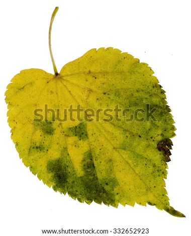 High Resolution yellow leaf of cottonwood - stock photo