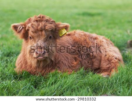 Highland calf sitting in green field - stock photo