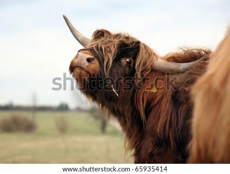 Highland cattle - stock photo