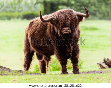 Highland cattle bull - stock photo