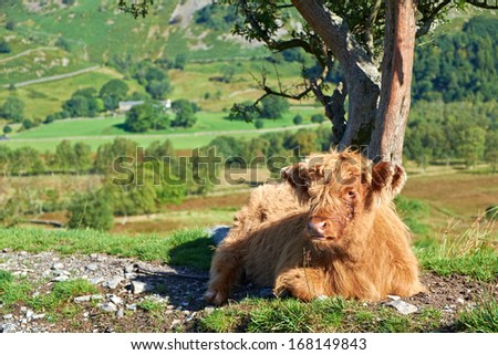Highland Cattle Calf lying down beside a country track leading to Low Hall Garth, Lake District. - stock photo