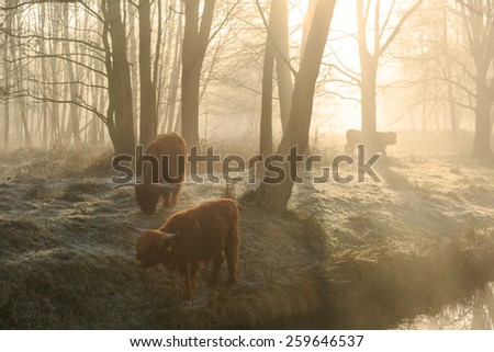 Highland cattle in the forest during a foggy sunrise in spring. - stock photo
