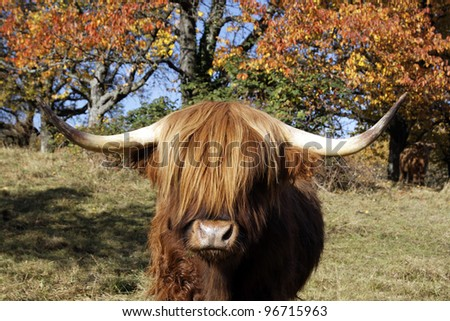 Highland Cattle on the meadow - stock photo