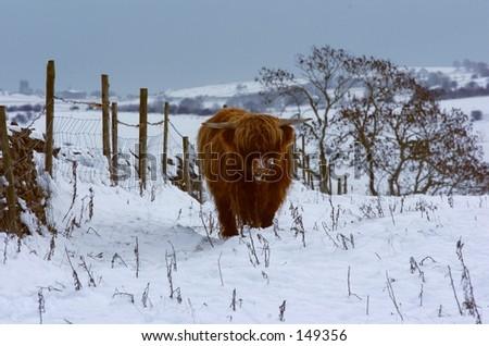 Highland Cow English Winter. - stock photo