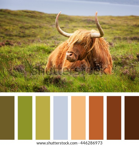 Highland cow on the Isle of Skye, Scottish highlands, United Kingdom. In a colour palette with complimentary colour swatches. - stock photo