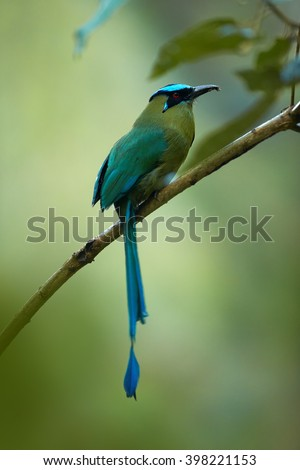 Highland Motmot, Momotus aequatorialis, largest motmot, bird with green body and turquoise crown with long, racquet-tipped tail, perched on twig in montane forest in Colombia. Vertical photo.  - stock photo
