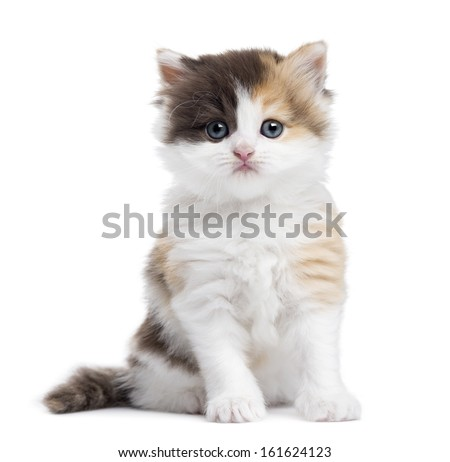 Highland straight kitten sitting, looking at the camera, isolated on white - stock photo