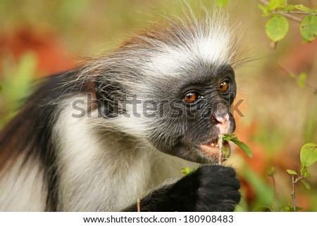 Highly endangered Zanzibar Red Colobus Monkey (Procolobus kirkii) in Jozani Forest on island of Zanzibar (Tanzania, Africa). Close up of feeding on leaves. About 1,600 to 3,000 individuals remain. - stock photo