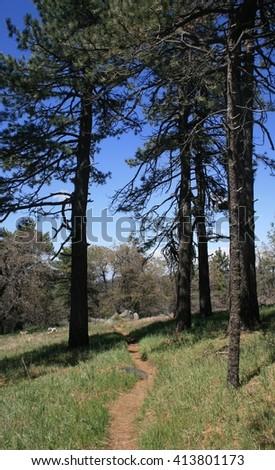 Hiking trail leading through tall pines, California - stock photo