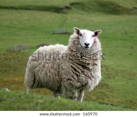 Hill Sheep - stock photo