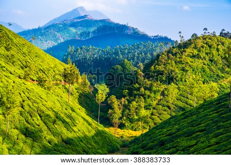 Hills overgrown by tea with wood and a mountain in the background. Tea farmland in Munnar (Kerala, India) - stock photo