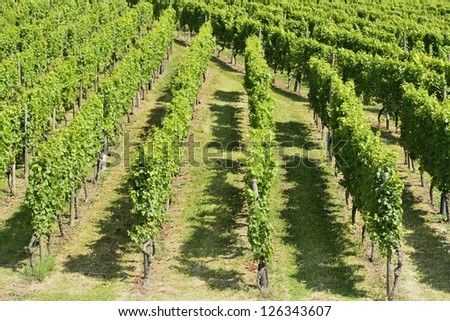 hilly vineyard #6, Stuttgart, foreshortening of hilly vineyard with multiple lines of plants on the hills surrounding the important industrial town - stock photo