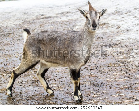 Himalayan blue sheep (bharal) posing on the ground - stock photo