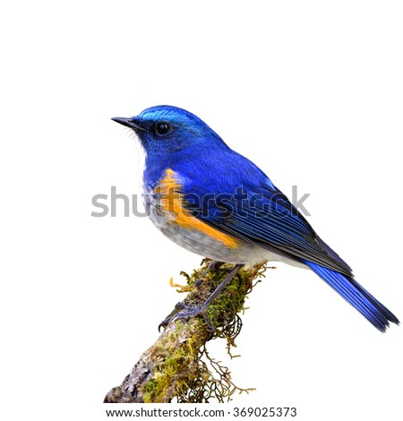 Himalayan bluetail or Orange-flanked bush-robin (Tarsiger rufilatus) the beautiful blue bird perching on the mossy stick isolated on white background - stock photo