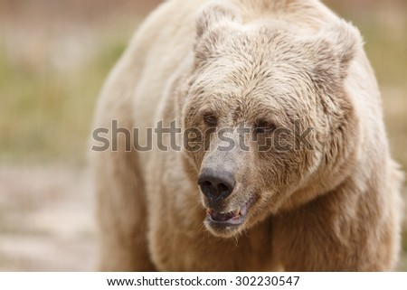 Himalayan brown bear close up - stock photo