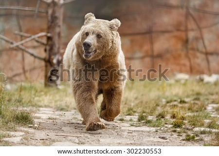 Himalayan brown bear is coming - stock photo