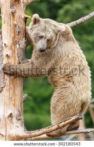 Himalayan Brown Bear on the tree - stock photo