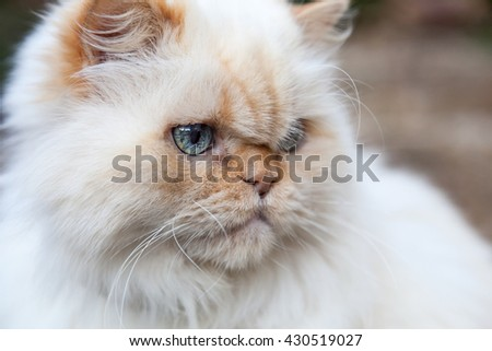 Himalayan cat close up of face. White with flame points. Selective focus with background blur - stock photo