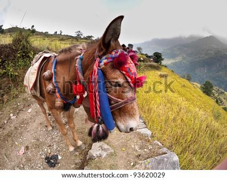 himalayan donkey - stock photo