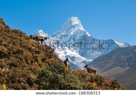 Himalayan tahr (Hemitragus jemlahicus) and Ama Dablam, Everest region, Nepal - stock photo