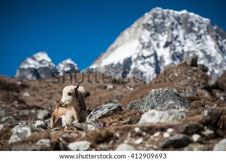 Himalayan yak with mountain view  Mt. Everest Base Camp, Himalayas, Nepal - stock photo