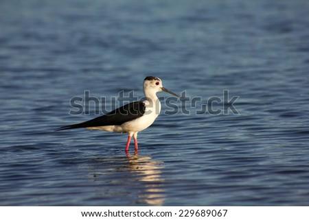 Himantopus Himantopus. Common stilt water. - stock photo