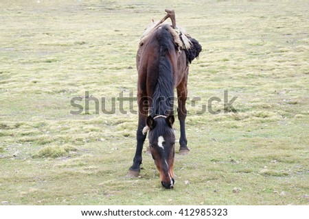 Hinny on pasture in Simien mountains, Ethiopia - stock photo
