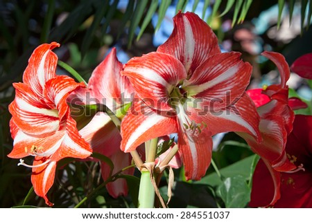 Hippeastrum Amaryllis red flowers in garden - stock photo