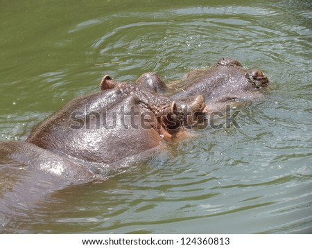 Hippo. - stock photo