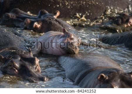 Hippo at the Serengeti National Park, Tanzania, Africa - stock photo