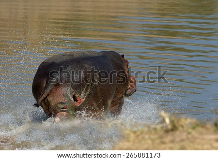Hippo charging into the water with visible wound on hind leg - stock photo