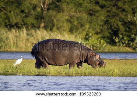 Hippo feeding out of water - stock photo