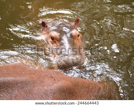 Hippo head closeup on a background of green water - stock photo