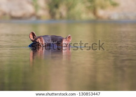 Hippo head in water stick out of river wet - stock photo