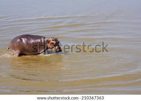 Hippo in Luangwa River, South Luangwa National Park, Zambia, Africa - stock photo