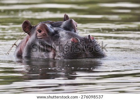 Hippo in water, South Africa - stock photo