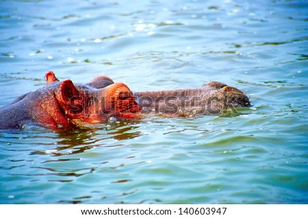 Hippo, Kazinga Channel in the Queen Elizabeth National Park in Uganda (Africa) - stock photo