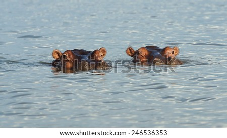 Hippo, Lake Chamo, Nechisar National Park, Ethiopia, Africa - stock photo