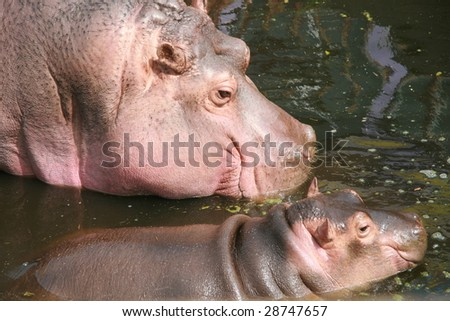 Hippo mother and child - stock photo