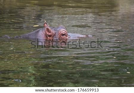 Hippo or Hippopotamus amphibius in water side angle view - stock photo