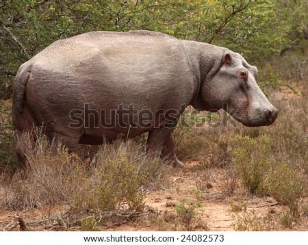 Hippo out eating in the late afternoon. - stock photo