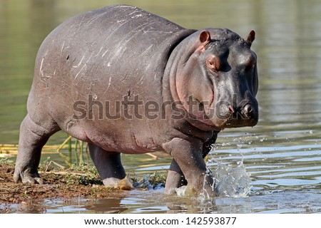 Hippo out of water - stock photo