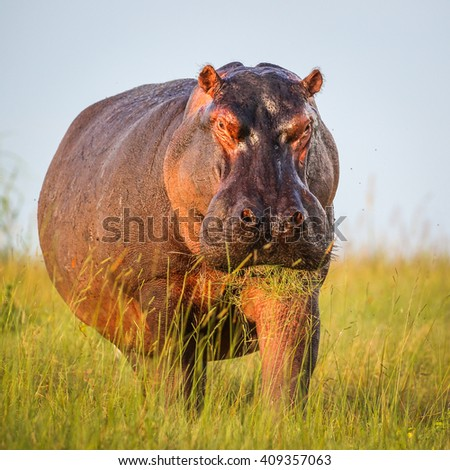 Hippo out the water to eat grass, Botswana - stock photo