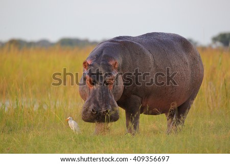 Hippo out the water to eat grass with inquisitive cattle egret, Botswana - stock photo