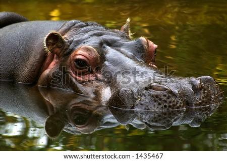 Hippo refelections - stock photo