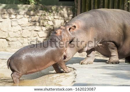 Hippo's family 5 - stock photo